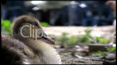 Entenbaby schläft beinahe ein