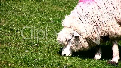 Schaf frisst Gras
