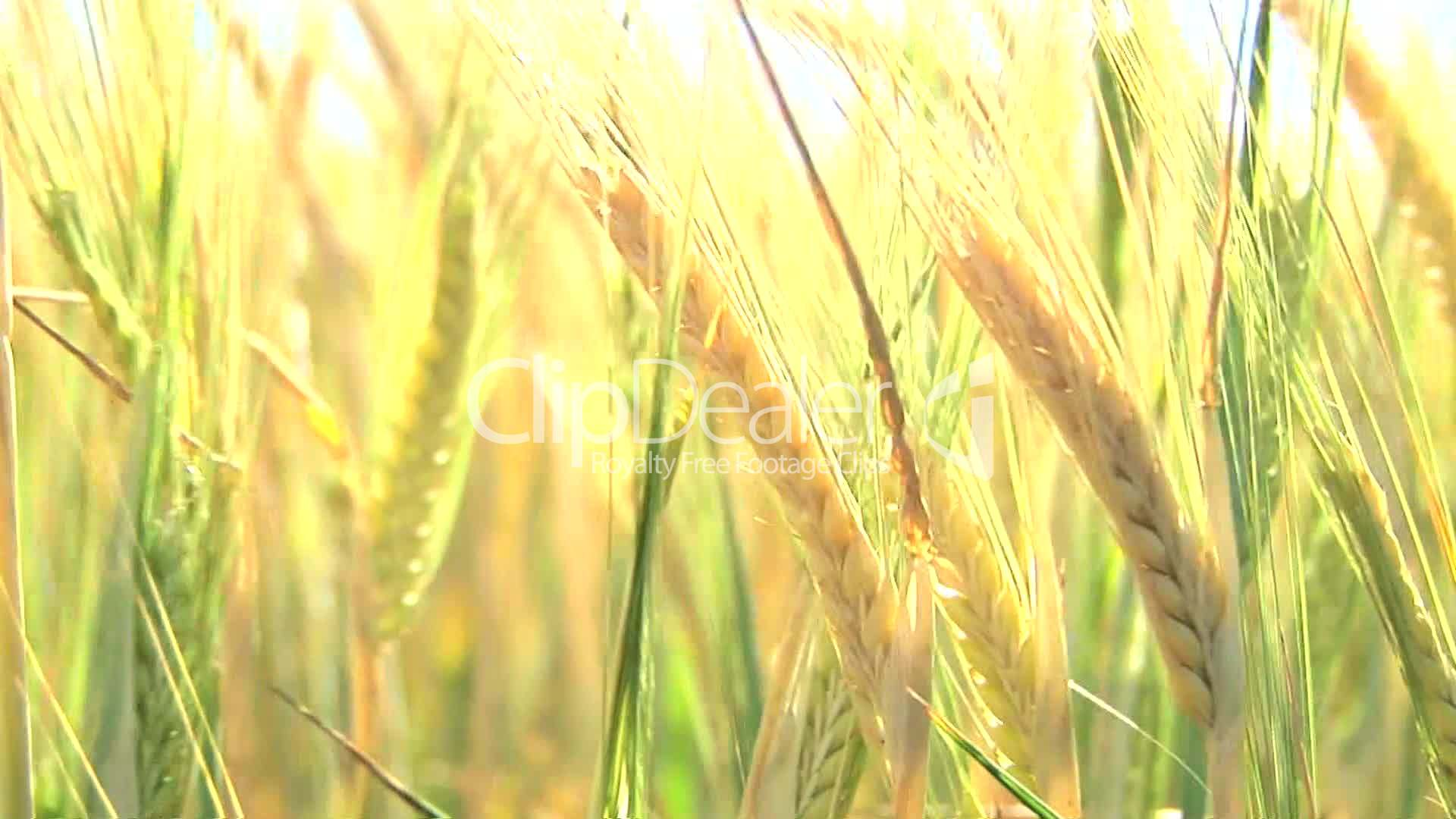 Wheat Stalk: Royalty-free video and stock footage