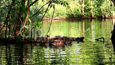 Feeding Duck & Ducklings