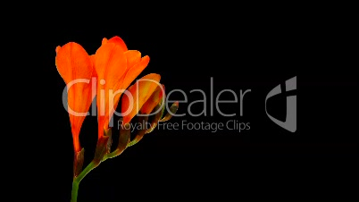 Time-lapse opening orange freesia flower buds ALPHA matte 1