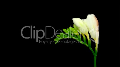 Time-lapse opening white freesia flower buds ALPHA matte 1