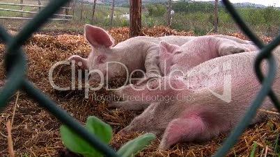 Schweine schlafen im Stroh