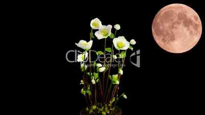 Montage of moon rising behind growing christmas rose 1