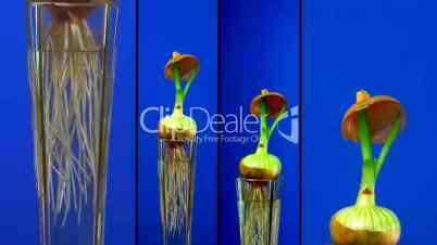 Montage of growing onion time-lapse in a vase 1
