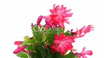 Time-lapse of blooming red Christmas cactus isolated on white 3