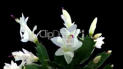 Time-lapse white Christmas cactus growing and blooming ALPHA matte 1