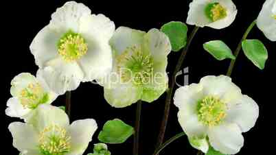 Time-lapse growing opening Helleborus Christmas rose ALPHA matte 2