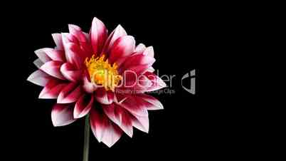 Time-lapse of blooming red dahlia ALPHA matte 2
