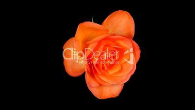 Time-lapse of dying orange rose ALPHA matte 1