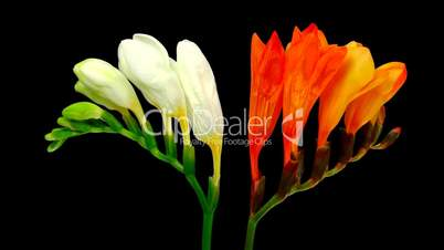 Time-lapse opening white orange freesia flower buds ALPHA matte 1