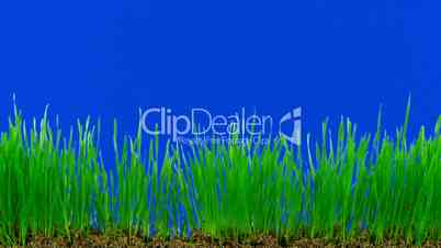 Time-lapse of growing decorative Easter grass against blue background 1