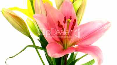 Time-lapse of opening colorful lily bouquet isolated on white 3