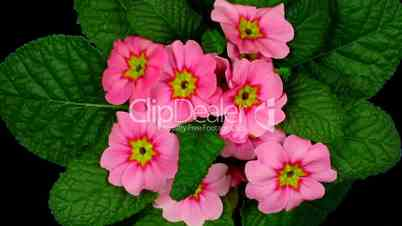 Time-lapse of red primula growing 5