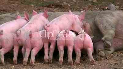 Artgerecht gehaltene Schweine und Ferkel