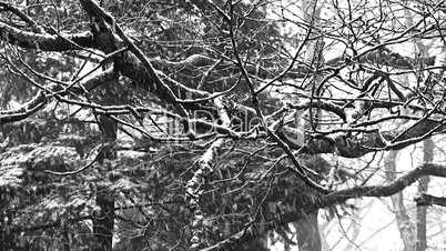 Eichen im Winter (2)