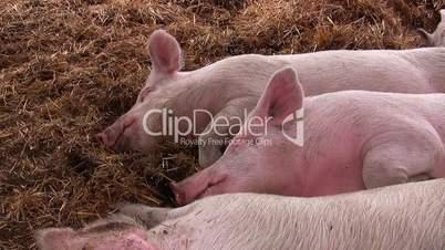 Schlafende Schweine auf Biohof