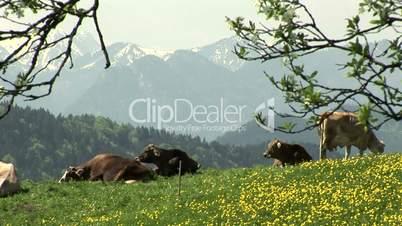 Kühe vor Alpenpanorama
