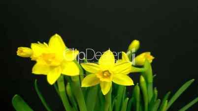 HD1080p Gelbe Narzissen öffnet sich im Zeitraffer