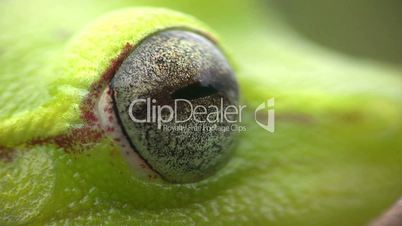 Spotted Treefrog (Hypsiboas punctatus) blinking eye