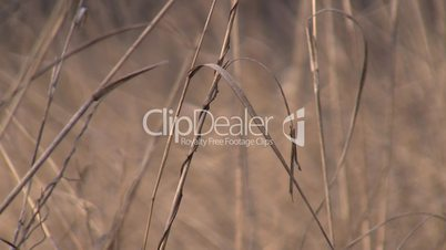 dry grass waves