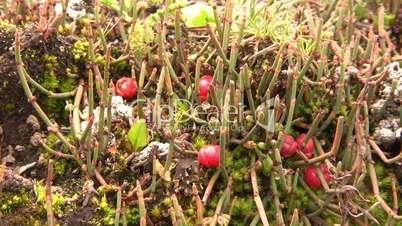 Ephedra americana a prostrate gymnosperm shrub