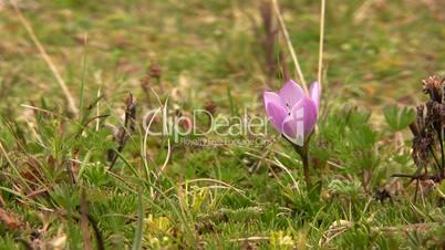 gentian flower (Gentiana cerastoides)