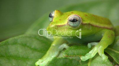 Spotted Treefrog (Hypsiboas punctatus)
