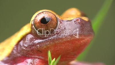 Clown treefrog (Dendropsophus triangulum)
