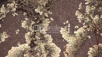 Crustose lichen crowing on boulder