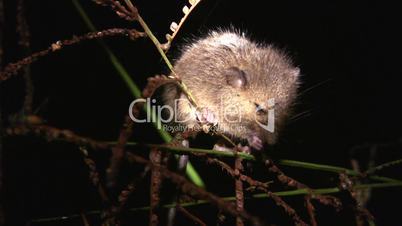 Mouse feeding on grass seeds in the Amazon rainforest