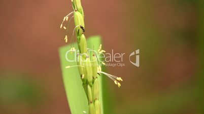 Rice plant (Oryza sativa) in flower