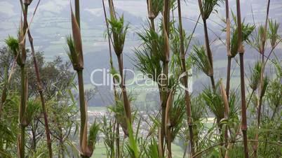 Bamboo, Chusquea sp