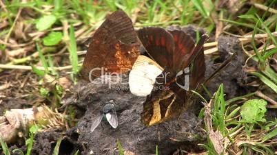 Brown butterflies feeding on animal feces