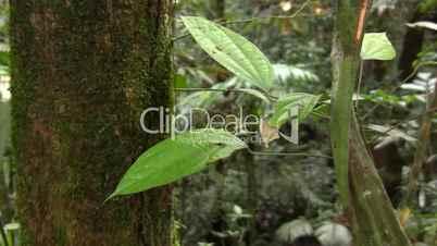 Curare vine (Chondrodendron tomentosum)