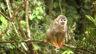 Squirrel monkey (Saimiri sciureus) in the wild