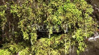 Water dripping through moss