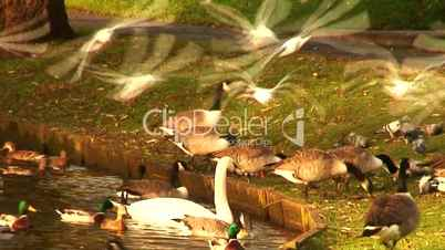 time lapse ducks, geese and seagulls