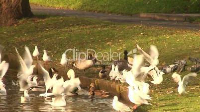 Flock of seagulls with ducks and swan, slow motion