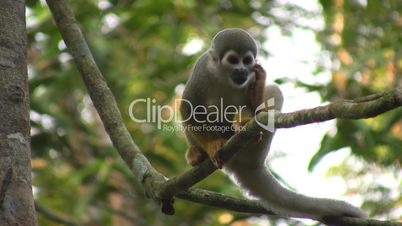 Squirrel monkey (Saimiri sciureus) in the wild