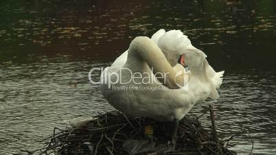 Adult swan cleaning its feathers
