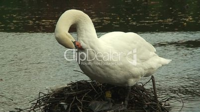 Adult swan cleaning its feathers 2