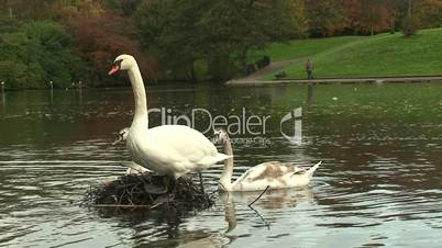 Adult and young swans on the nest