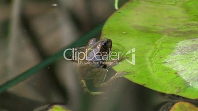 Frosch hängt am Rand eines Blatts; schwimmt dann weg