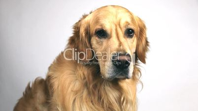 Golden Retriever Dog Watching the Camera white background