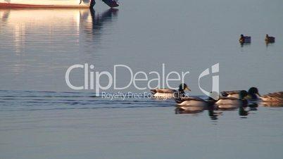 Flock of ducks swimming