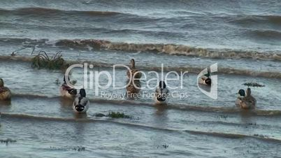 Flock ducks swimming