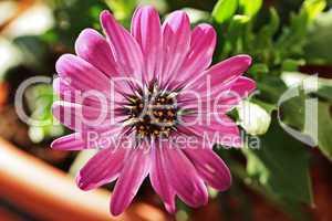 lila blüte der kapmargerite