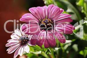 blüten der kapmargerite