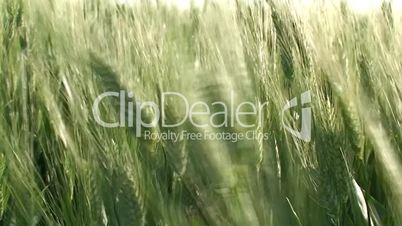 Green wheat close up